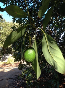 Young avocado that looks like the right size to pick, but would not ripen to full flavor if picked.