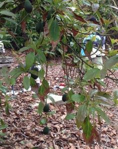 Reduced yield and leaf burn.