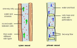 Xylem and Phloam Functions